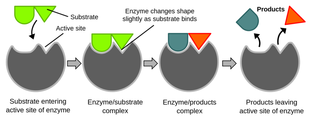Key Difference Between Substrate and Active Site