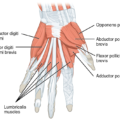 Difference Between Abductor and Adductor Muscles
