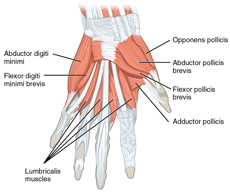 Difference Between Abductor And Adductor Muscles L Abductor Vs