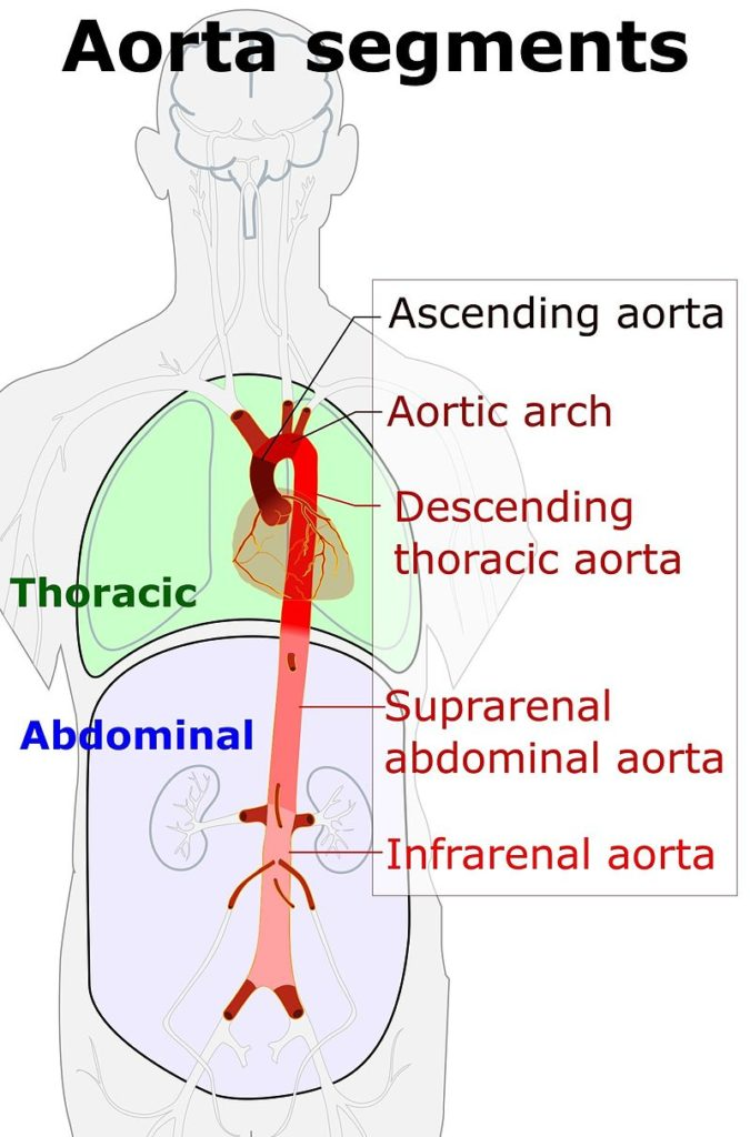 Difference Between Aorta and Artery