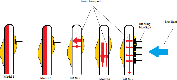 Difference Between Auxin and Cytokinin