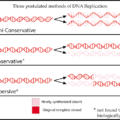 Difference Between Conservative and Semiconservative Replication