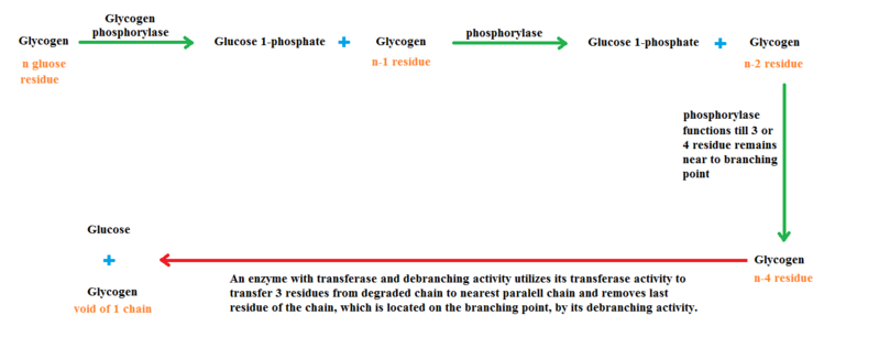 Key Difference Between Glycolysis and Glycogenolysis