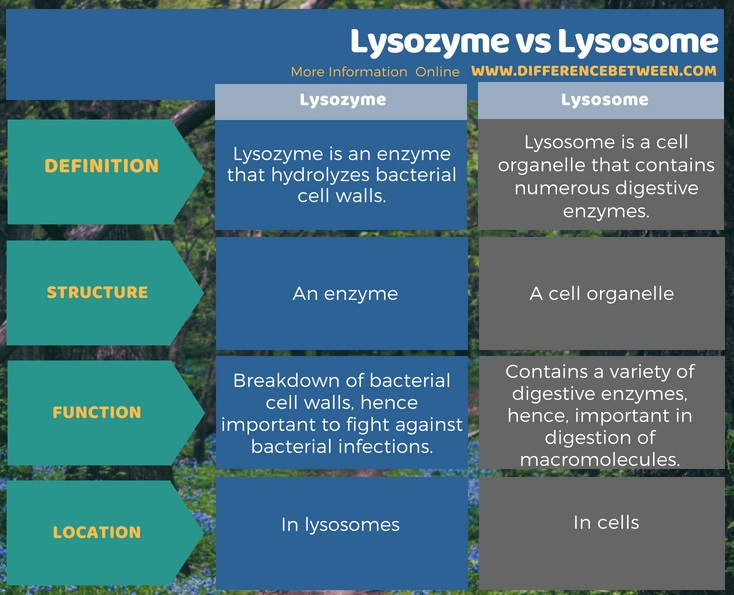 Difference Between Lysozyme and Lysosome in Tabular Form