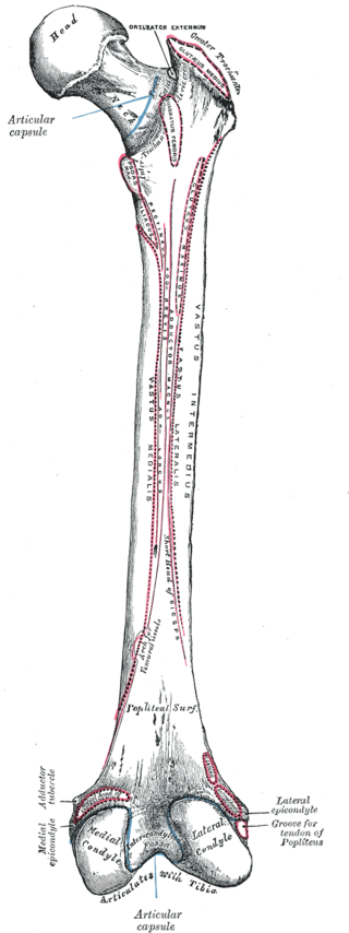 Difference Between Male and Female Femur_Fig 01