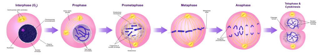 Difference Between Mitosis and Amitosis_Figure 01