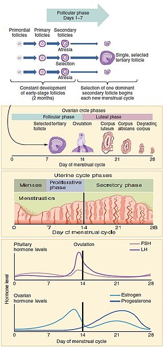 Key Difference Between Ovarian Cycle and Menstrual Cycle