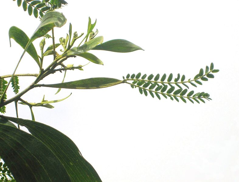 Difference Between Petiole and Pedicel