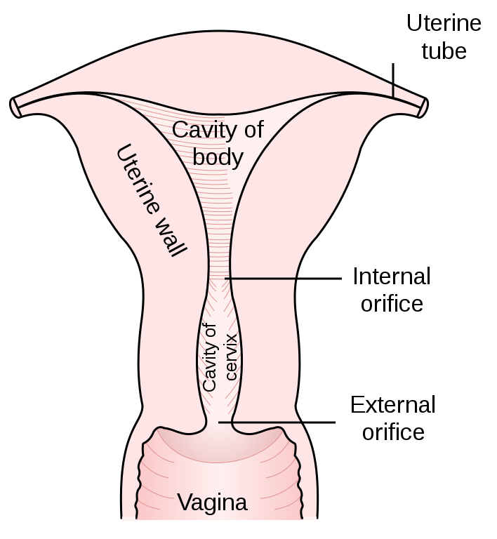 Key Difference Between Placenta and Uterus