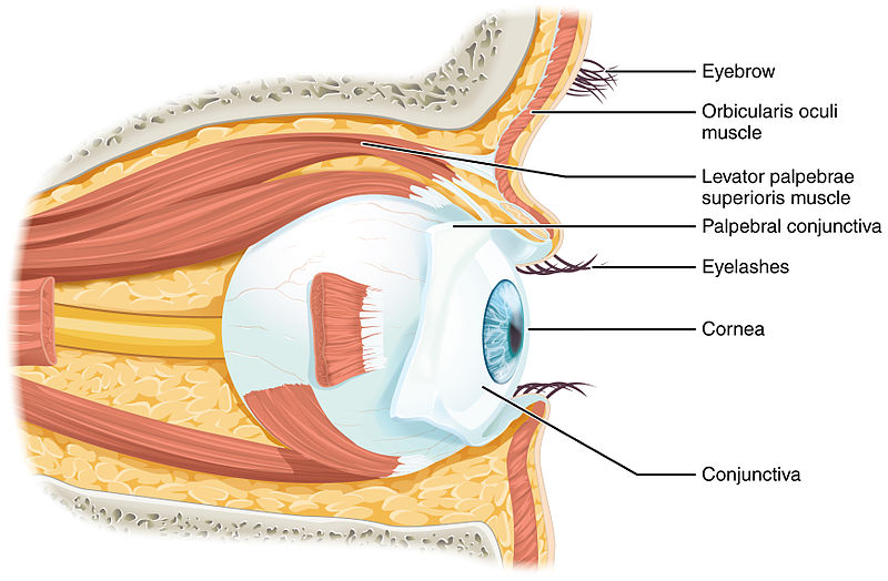 Difference Between Sclera and Conjunctiva_Figure 2