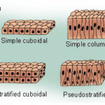 Difference Between Squamous Epithelium and Columnar Epithelium