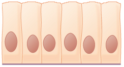 Key Difference Between Squamous Epithelium and Columnar Epithelium