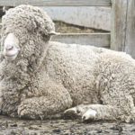 Difference Between Wool and Merino Wool