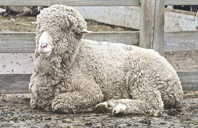 Key Difference Between Wool and Merino Wool