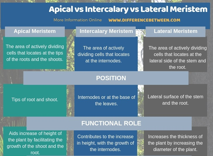 Difference Between Apical Intercalary and Lateral Meristem in Tabular Form