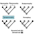 Difference Between Apomorphy and Plesiomorphy