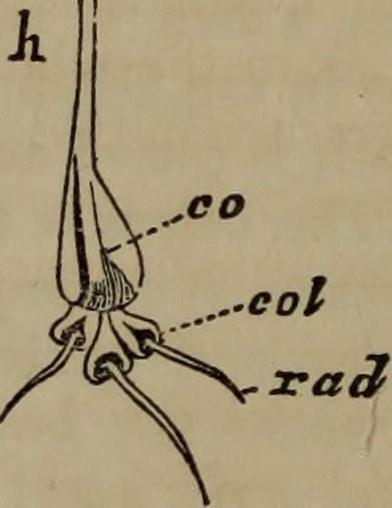 Key Difference Between Coleoptile and Coleorhiza