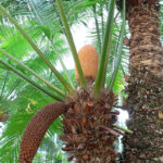 Difference Between Cycads and Palms