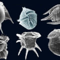 Difference Between Diatoms and Dinoflagellates