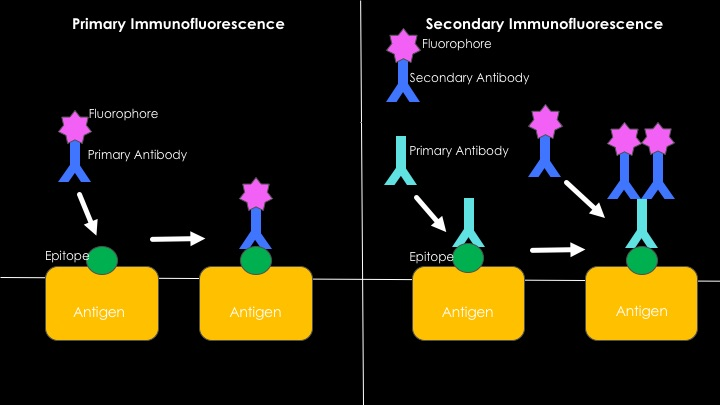 Difference Between Direct and Indirect Immunofluorescence_Fig 02