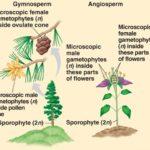 Difference Between Gamete and Gametophyte