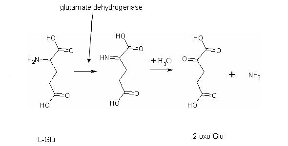 Difference Between Oxidative and Nonoxidative Deamination