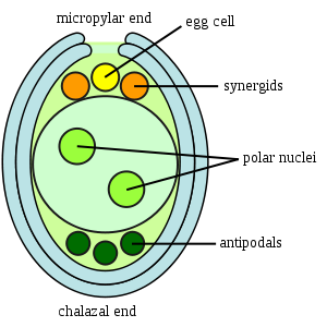 Difference Between Synergid and Egg Cell