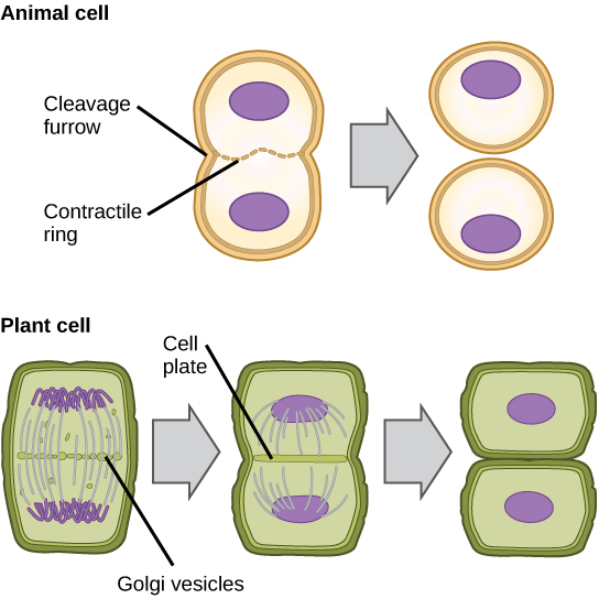 Difference Between Cleavage and Cell Division
