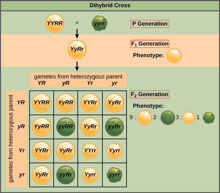 Difference Between Phenotype and Genotype Ratio