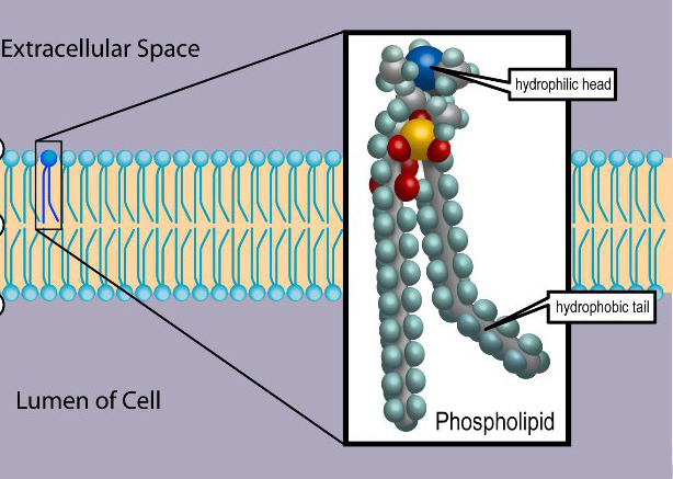 Difference Between Phospholipids and Sphingolipids
