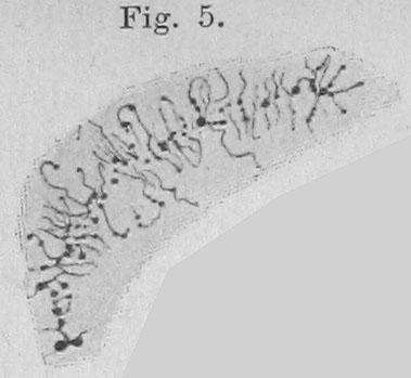 Key Difference Between Polytene and Lampbrush Chromosome