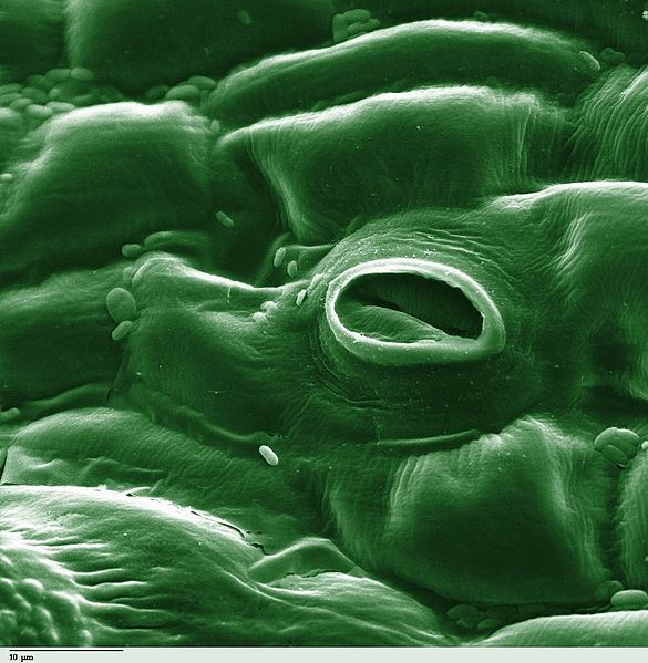 Difference Between Stomata and Guard Cells