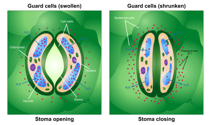 Key Difference Between Stomata and Guard Cells