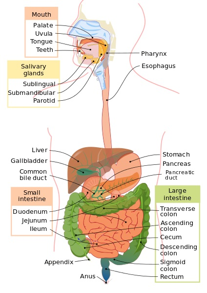 Difference Between Digestion in Stomach and Digestion in Intestine_Fig 01
