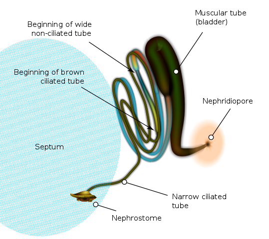Difference Between Nephridia and Malpighian Tubules