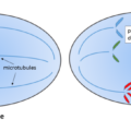 Difference Between Nondisjunction and Translocation Mutations