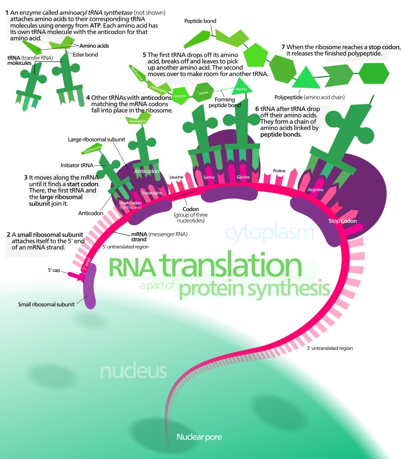 Key Difference Between Transcription and Translation