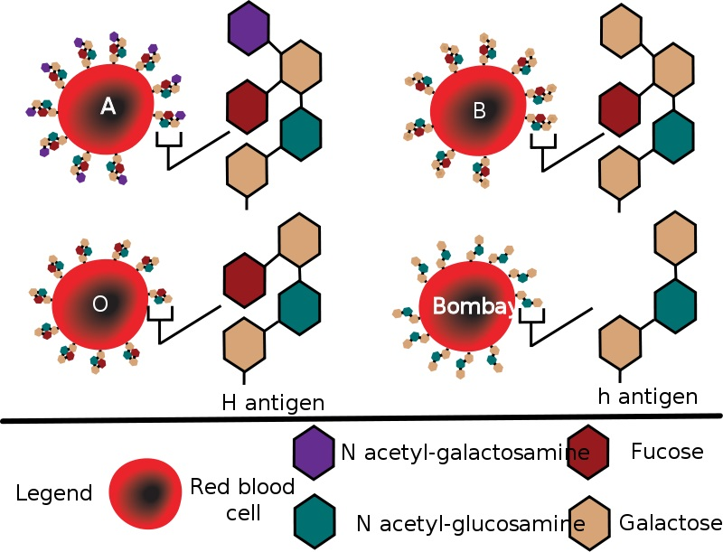 What is the Difference Between Bombay Blood Group and O Blood Group