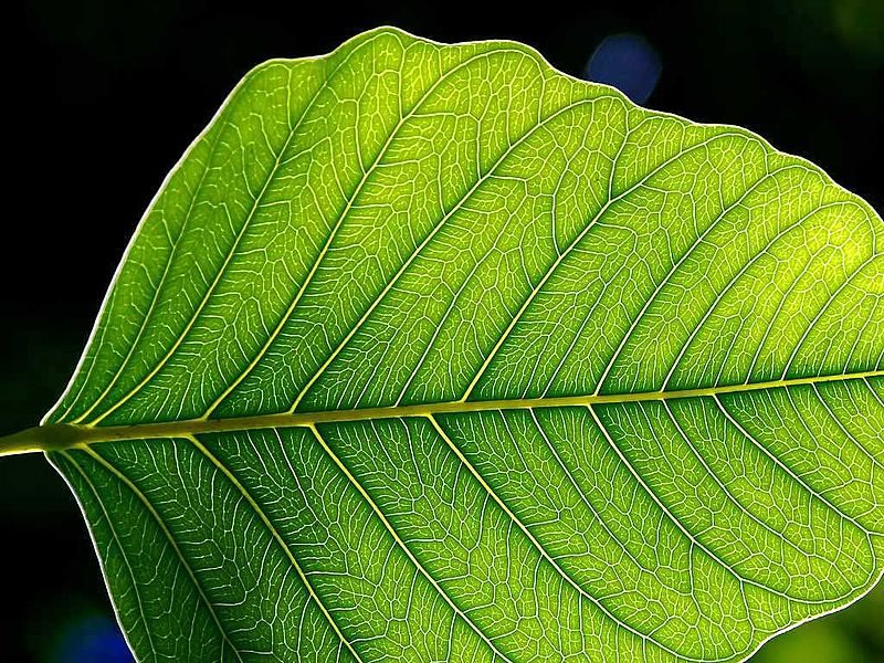 Key Difference Between Chlorophyll and Carotenoids