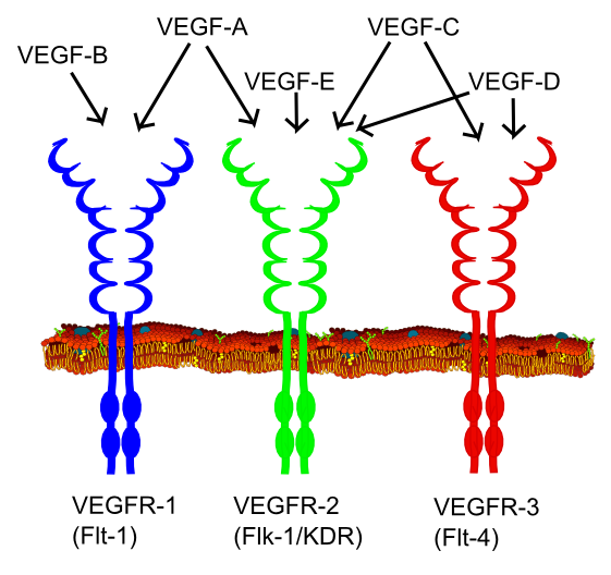 Key Difference Between G Protein Coupled Receptors and Receptor Tyrosine Kinases