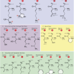 Difference Between Hydrophobic and Hydrophilic Amino Acids