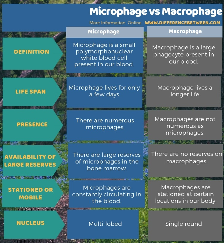 Difference Between Microphage and Macrophage in Tabular Form