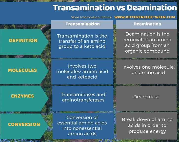 Difference Between Transamination and Deamination - Tabular Form