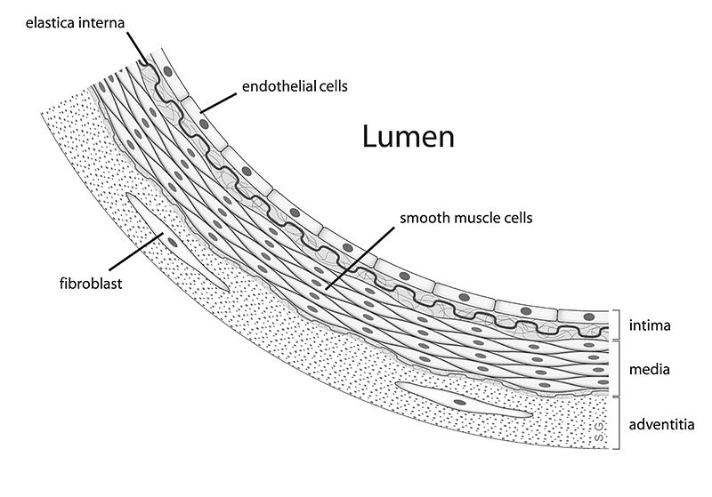 Key Difference Between Endothelium and Mesothelium