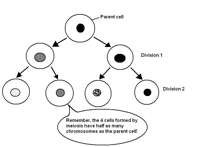 Difference Between Mother Cell and Daughter Cell