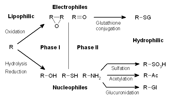 Difference Between Phase I and Phase II Metabolism