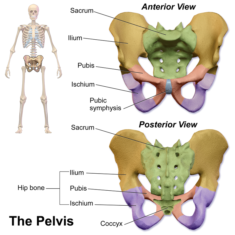 Difference Between Sacrum and Coccyx