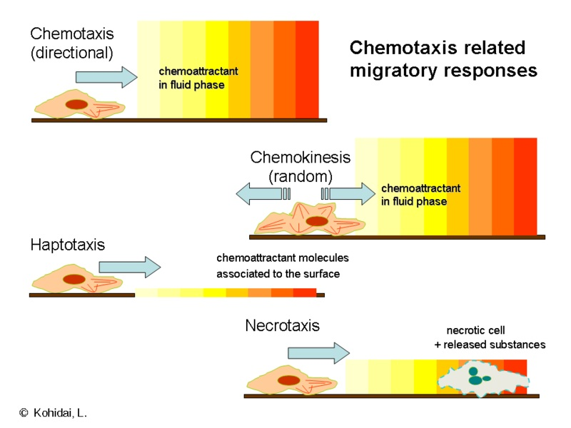 Key Difference - Chemotaxis vs Phagocytosis