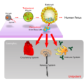 Difference Between Fetal and Embryonic Stem Cells