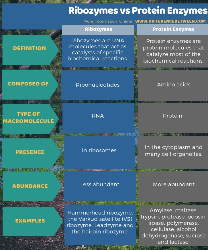 Difference Between Ribozymes and Protein Enzymes in Tabular Form